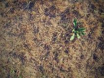 Sequedad extrema Hierba muerta marrón seca imagen de archivo