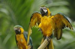 Sequedad-para arriba del Macaw sus plumas Fotografía de archivo