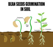 Sequence of bean seeds germination. In soil, vector illustration (Helpful for Education & Schools Royalty Free Stock Photo