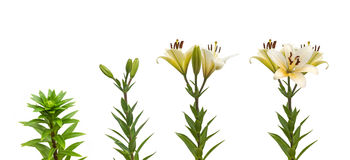 The sequence of blooming flower white lily Oriental hybrids Stock Photos