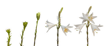 The sequence Lilium candidum or the Madonna lily on a white back Royalty Free Stock Photo