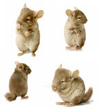 Sequence shot of chinchilla isolated Royalty Free Stock Photography