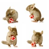Sequence shots of chinchilla holding ball royalty free stock photography
