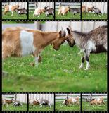 Sequences of two rams fight Stock Images