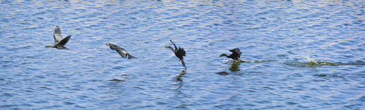 Sequential frames of a Cormorant bird diving into the lake for f. Sequential frames of a Cormorant bird diving into the Man Sagar lake for fish and then flying Stock Photography