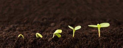 Sequenza crescente della pianta in sporcizia Fotografia Stock Libera da Diritti