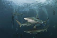 Sequenza dello squalo Fotografia Stock