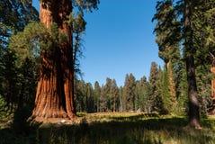 Sequioa treeskog Arkivbilder