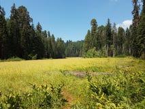 Sequoiaängar Arkivfoto