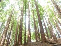 Sequoia δάσος Cantabria Στοκ φωτογραφία με δικαίωμα ελεύθερης χρήσης
