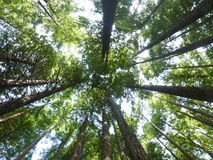 Sequoia δάσος Cantabria Στοκ Φωτογραφία
