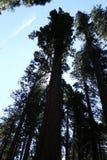 Sequoia δέντρα στη σκιαγραφία στο μεγάλο κρατικό πάρκο δέντρων Καλιφόρνια Στοκ Εικόνα