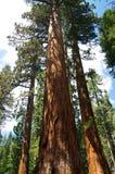 Sequoia δέντρα στο εθνικό πάρκο Yosemite Στοκ Εικόνες