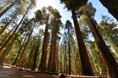 Sequoia δέντρα Στοκ Εικόνες