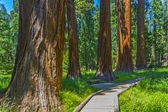 Sequoia δέντρο στο δάσος Στοκ φωτογραφία με δικαίωμα ελεύθερης χρήσης