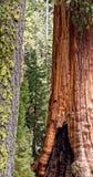 Sequoia δάσος Στοκ Εικόνες