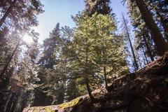 Sequoia εθνικά βαμμένα Sequoia γιγαντιαία Sequoias Στοκ Εικόνες