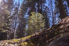 Sequoia εθνικά βαμμένα Sequoia γιγαντιαία Sequoias Στοκ φωτογραφίες με δικαίωμα ελεύθερης χρήσης