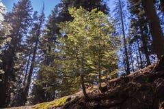 Sequoia εθνικά βαμμένα Sequoia γιγαντιαία Sequoias Στοκ Φωτογραφία
