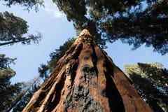 Sequoia εθνικά γιγαντιαία Sequoias Στοκ Φωτογραφία