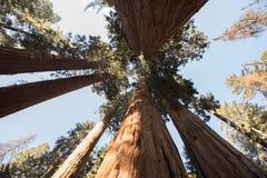 Sequoia εθνικά γιγαντιαία Sequoias Στοκ Εικόνα