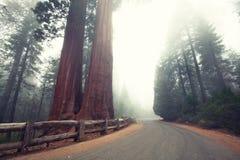 sequoia Fotografering för Bildbyråer
