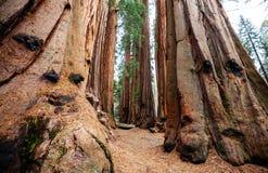 sequoia Στοκ Φωτογραφία