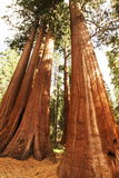 Sequoia Stock Images