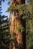 Sequoia Royalty Free Stock Images