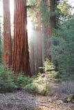 Sequoia Fotografia Stock Libera da Diritti