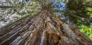 sequoia Royalty-vrije Stock Afbeelding