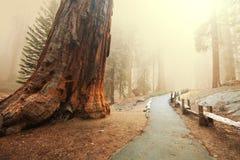 sequoia royalty-vrije stock fotografie