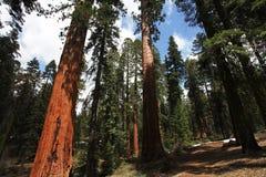 sequoia Στοκ φωτογραφία με δικαίωμα ελεύθερης χρήσης