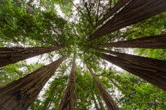 sequoia Στοκ Φωτογραφίες