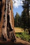 sequoia Royalty-vrije Stock Foto