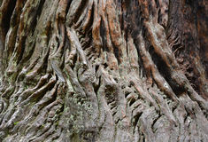 Sequoia bark closeup Stock Image