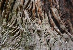 Sequoia bark closeup Stock Image