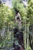 Sequoia bordering the paths of the park of the bamboo plantation. Of Anduze being in the French department of Gard Stock Images