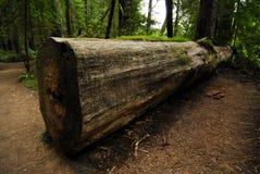 Sequoia caduta Fotografia Stock