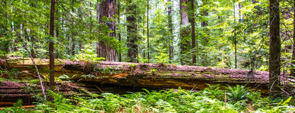 Sequoia caduta Immagini Stock Libere da Diritti