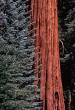 Sequoia, California Stock Image
