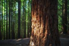 Sequoia. Close-up of a sequoia tree, Natural Monument of Sequoias del Monte Cabezon, Cantabria, Spain Stock Images