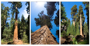 Sequoia compilation Stock Photos