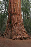 Sequoia CU Royalty Free Stock Photo