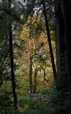 Sequoia di costa di vecchia crescita e grandi alberi di acero della foglia Fotografia Stock Libera da Diritti