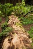 Sequoia di vecchia crescita che si decompone sul pavimento della foresta immagini stock