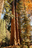 Sequoia on the edge of the forest in the Sequoia National Park. Sequeyadendron is an ancient sequoia forest in the Sequoia National Park. The most ancient tree Royalty Free Stock Photography