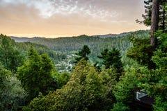 Sequoia en pijnboombomen in Guernewood-Park Stock Foto's