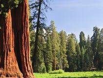 sequoia för ca-skognational Arkivfoto