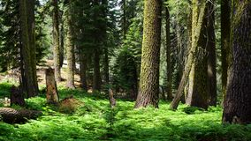 Sequoia Forest Royalty Free Stock Photography